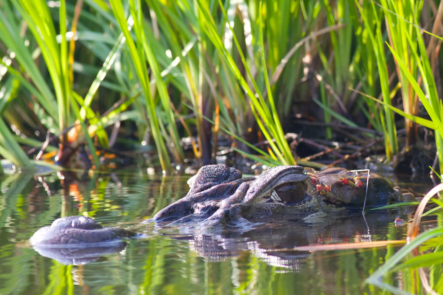 Lake-okeechobee-airboat tour-alligator